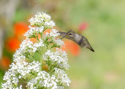 """Hummingbird in Spring"" Costa's Hummingbird extracting nectar from flowers in a spring garden."