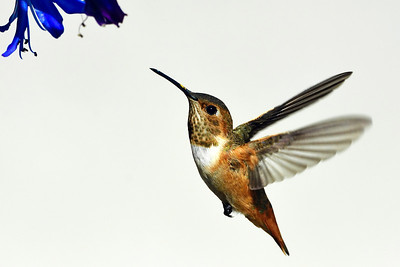 Allen's Hummingbird rising to agapanthus blossom.  The background is the white stucco wall of a neighbors home.