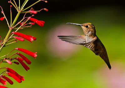 Allen's Hummingbird, with pink flowers in the background, homes in on a Mexican Cigar plant.