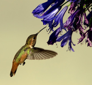 Allen's Hummingbird and agapanthus blossom.