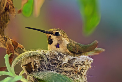 Female Costa's Hummingbird keeping her eggs warm at Summers Past Farms in Flinn Springs, California.