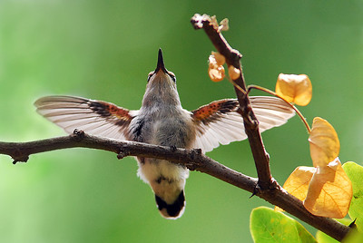 First time out of the nest for this fledgling Hummingbird stretching its wings at Summers Past Farms in Flinn Springs, California.