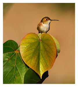 """""""Hummingbird on a Leaf"""" Finding this Allen's Hummingbird perched over a heart-shaped leaf in Encinitas, California, put a smile on our faces."""