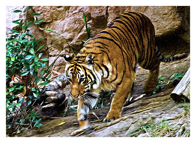 """Tiger on the Move"" This thirsty tiger is headed for the watering hole."