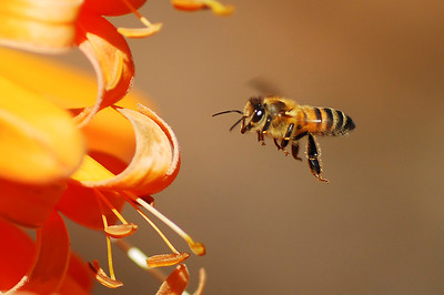 """Bee in Flight""  Honey bee approaching a trumpet vine. (This image, which has won several awards, has hung in the San Diego Natural History Museum Best of Nature Show.)"