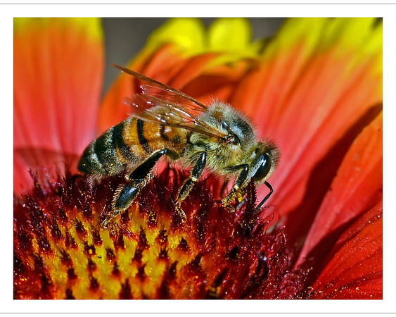 """Honey Bee""<br /> One of our favorite images.  The intensity of the afternoon sun, together with the lens held only inches from the bee, lent great detail to this image. <br /> (Multiple award winner.)"
