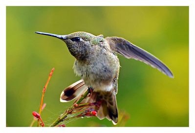 Anna's Hummingbird doing a little Yoga.