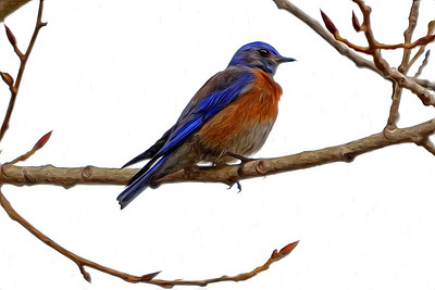 """Bluebird and Buds"" Male Western Bluebird decked out in breeding plumage on a gray spring day."