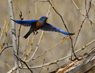 """Nest Hunters 1"" Male Western Bluebird flying through tree branches toward a potential nesting site in Santee, California."