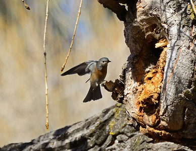 """Nest Hunters 2"" Female Western Bluebird inspecting a possible nesting site in Santee, Calfornia."