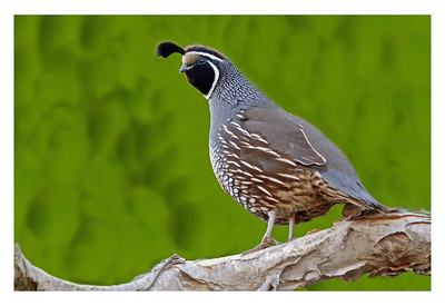 """California Quail Stands Watch"" This male Quail is standing guard while his family forages for dinner on the ground below. Taken at San Diego Botanic Garden in Encinitas, California. (Award winning image.)"