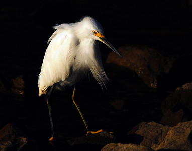 """Old Man Egret"" Snowy Egret poised to strike at Lake Murray, California."