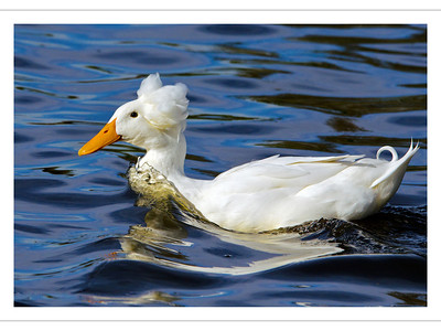 """Too Cool for Hair Gel"" The unusual feathers on this duck's head had Mark running for his camera before the duck could swim out of range. (Award winning image.)"