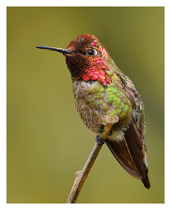 """George"" Anna's Hummingbird perched on a branch at San Diego Botanic Gardens in Encinitas, California. (Multiple award winner.)"