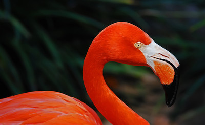 """Night Flamingo"" Evening light intensified the beautiful colors of this flamingo."