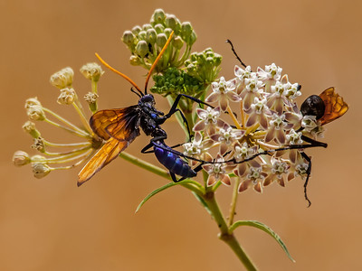 Two Tarantula Hawk Wasps on a wild flower in Mission Trails Park in San Diego, California.  The soft brown background is dry grass.