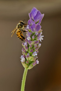 Honey bee using her proboscis to extract nectar from a lavender plant.