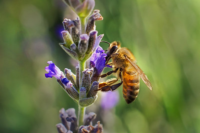 Honey bee extracting nectar from a lavender blossom.