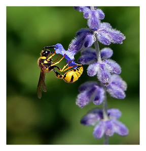 """Nectar for Lunch"" Sandhill Hornet peacefully gathering nectar from a Russian sage blossom. (Award winning image.)"