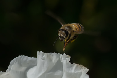 """Coming at You""   Honey bee heading for a sage leaf rock rose."