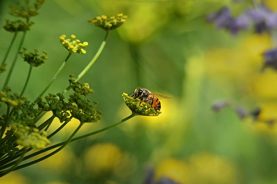 Honey bee on flowering fennel.