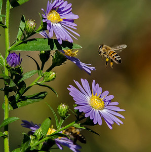 Honey bee homing in on flowering aster on a fine, warm afternoon in El Cajon, California.