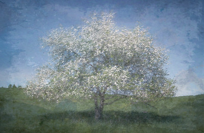 Lone Apple Tree