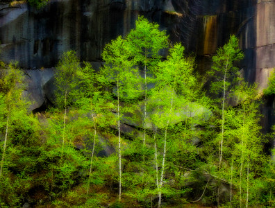 Quarry Birches