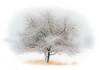 Apple Tree: Runner Up