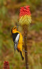 A male Bullock's Oriole on a Red Hot Poker (5/4/2016, above my driveway)<br /> 150-600mm F5-6.3 DG OS HSM | Sports 014 @ 512mm f8 1/640s ISO640