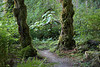 The trail runs between two large trees covered in moss, with large-leafed foliage from the lush forest beyond. (9/1/2012, Baker River Trail, North Cascades National Park Service Complex)