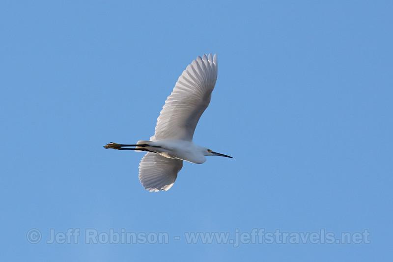 A Snowy Egret flying blue sky (10/13/2012, South Site, Woodbridge Ecological Reserve (Isenberg Crane Reserve), west of Lodi)