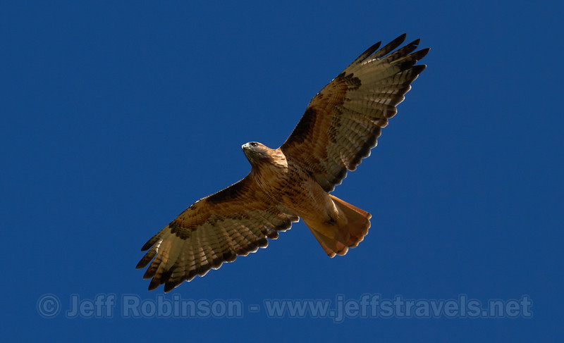 A red-tailed hawk flying against blue sky (9/3/2013, Brian Head Peak Road, 2013 Utah)<br /> EF100-400mm f/4.5-5.6L IS USM @ 320mm f/7 1/1000s ISO250