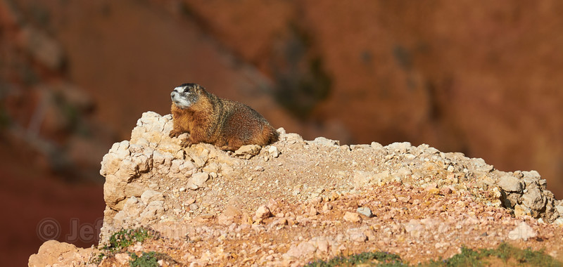 A yellow-bellied marmot on white rock on a point in the amphitheatre (9/2/2013, Chessmen Ridge Overlook, Cedar Breaks NM, 2013 Utah)<br /> EF100-400mm f/4.5-5.6L IS USM @ 400mm f/8 1/800s ISO200