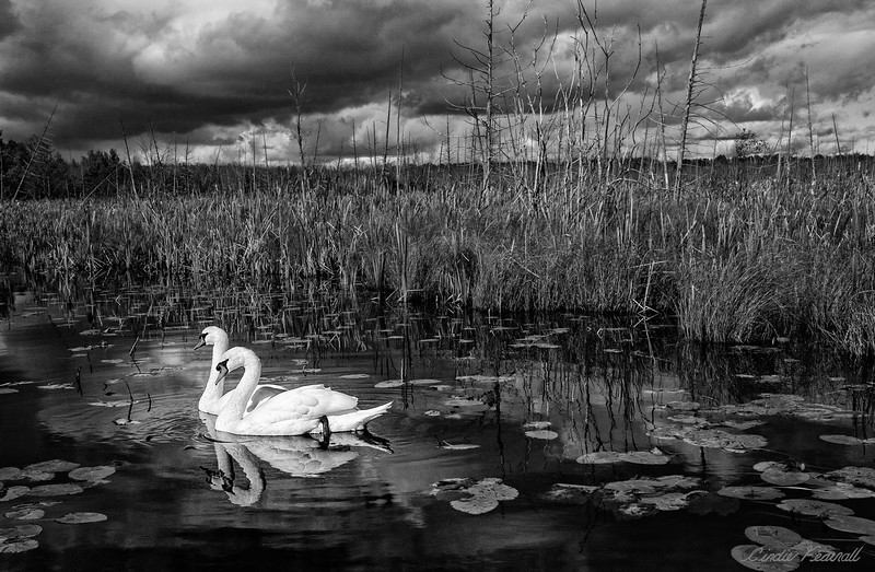 Swans & The Impending Storm
