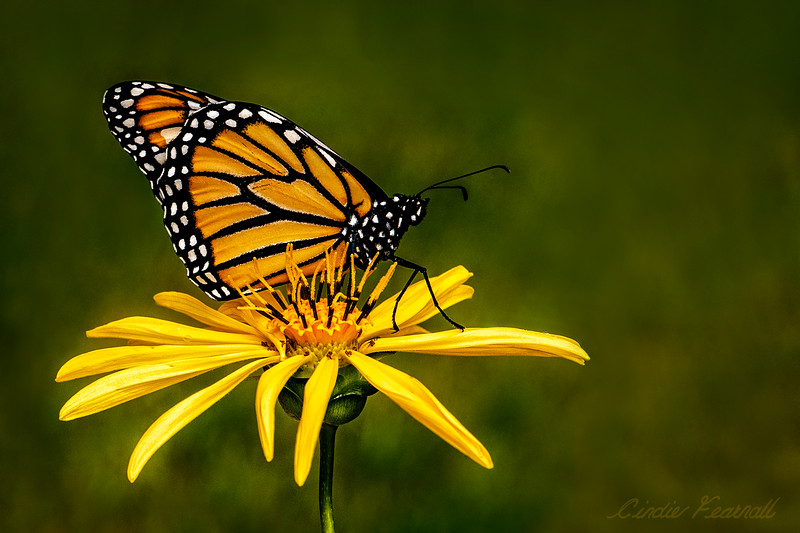 Monarch on Cup Flower