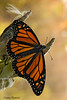 Monarch Butterfly & Back Light