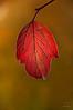 Cranberry Leaf