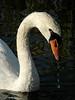 Drippy Mute Swan