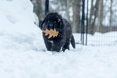 Newfoundland black puppy with oak leaf