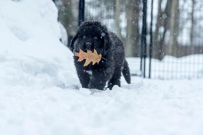 Newfoundland black puppy with oak leaf