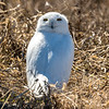Spring Snowy Owl