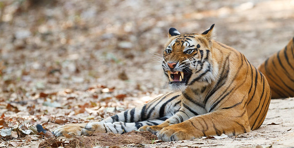 Tiger (Panthera tigris). Bandhavgarh, India.