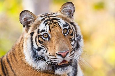 Tiger (Panthera tigris). Bandhavgarh, India.