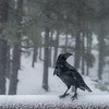 Cuervo en el Roque de Los Muchacho
