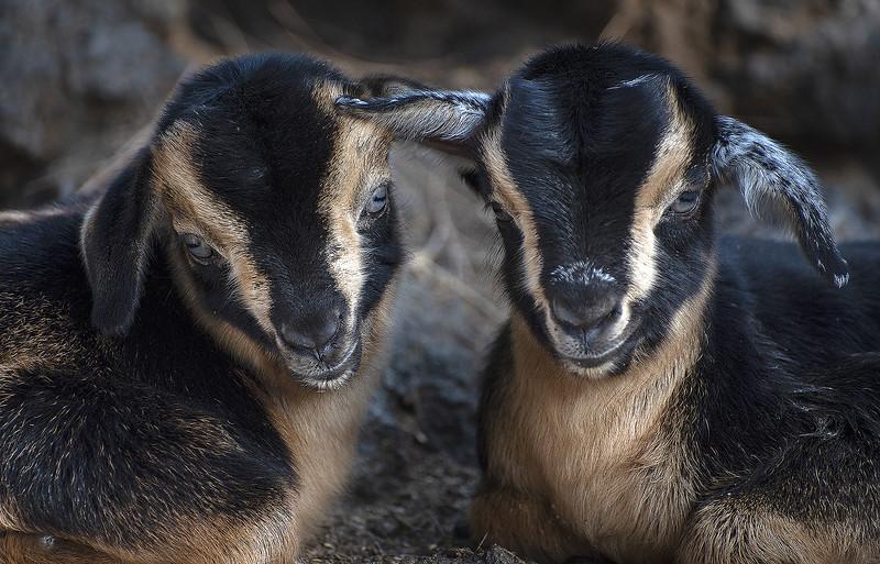 Chivo, cabra recien nacida. Cabra Palmera.