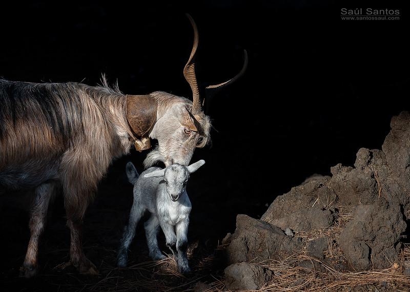 Cabra con su cria recien nacida. Isla de La Palma