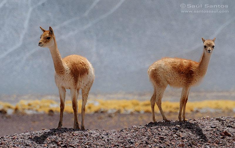 Vicuñas, Catamarca, Argentina. Altiplano Andino