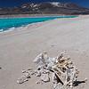 Vaca momificado, Laguna Verde, Catamarca, Altiplano Andino. Argentina