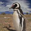 Pingüino de Magallanes, Peninsula de Valdes. Patagonia Argentina